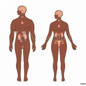 Endokrinný/ Reprodukčný systém