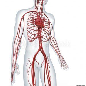 Kardiovaskulárny systém